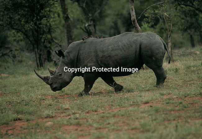 narhino43001 .Black rhinoceros with birds (Ox peckers) on its back in the bush..©Per-Anders Pettersson/iAfrika Photos