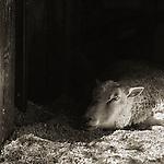 Photograph by Isa Leshko, Finn Sheep, Age 12
