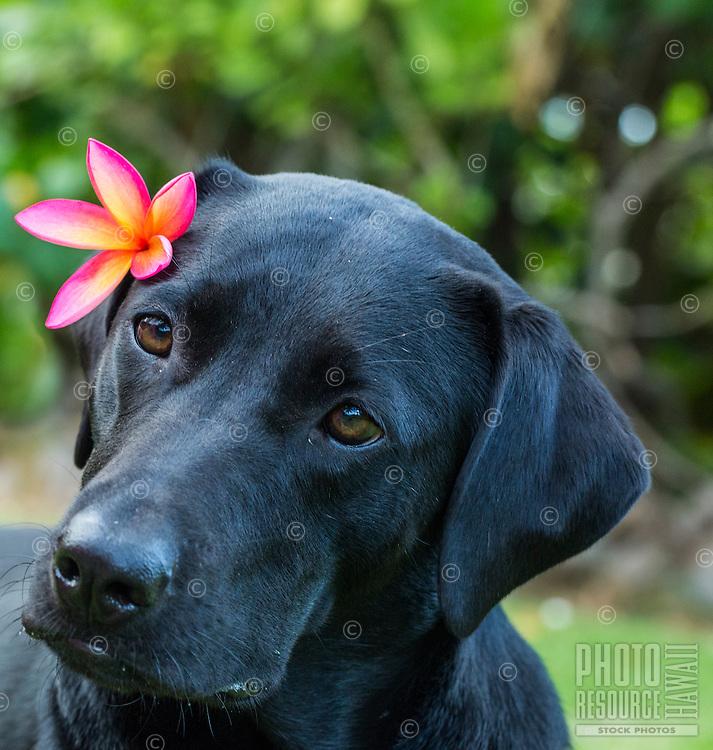 A black labrador retriever with plumeria flower behind the ear, North Shore, O'ahu.