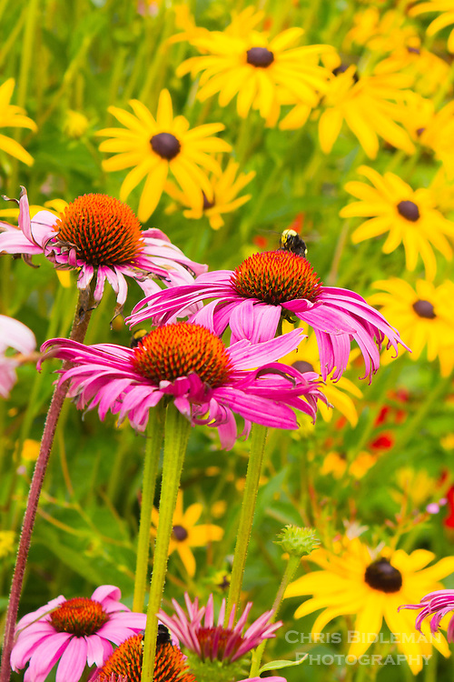 Two bumble bees (Bombus vosnesenskii) are collecting pollen from a purple coneflower (Echinacea purpurea) with black-eyed Susan (Rudbeckia hirta) and other flowers in the background in late summer.