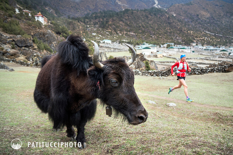 Trail running past a yak outside Kunde, above Namche Bazar, Nepal