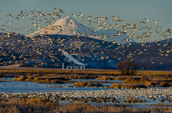 Mount Shasta with snow geese, white-fronted geese and other waterfowl during late winter/early spring migration.  Lower Klamath National Wildlife Refuge, California-Oregon border.  Early morning.