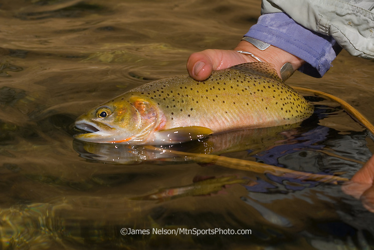 An angler releases a westslope cutthroat trout on Marsh Creek, Idaho.