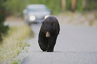 Black Bear (Ursus americanus), adult walking on road, Yellowstone National Park, Wyoming, USA
