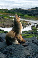 In the late 1800's the volcano on Santiago in the Galápagos islands was very active. The lava flow at Sullivan Bay was created during a 1897 eruption and is a favorite spot of sea lion to bread and rest on shore..