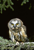 OW02-021c  Saw-whet owl - immature owl sitting on branch - Aegolius acadicus