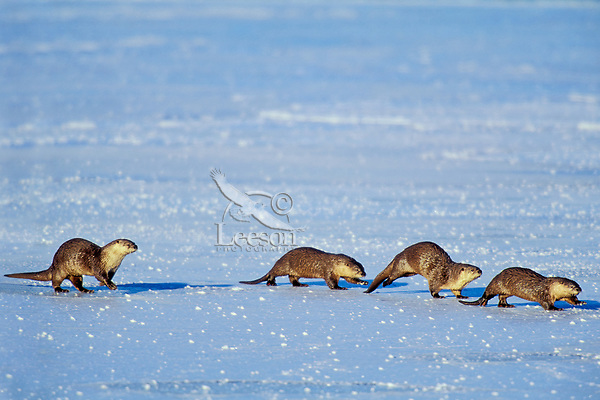 Family of River Otter traveling across frozen lake.  Western U.S.  Winter.