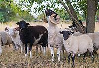 Mörfelden-Walldorf 15.07.2020: Schäferinnen mit Herde<br /> Schafe grasen im Gebiet zwischen den Ortsteilen von Mörfelden-Walldorf<br /> Foto: Vollformat/Marc Schüler, Schäfergasse 5, 65428 R'eim, Fon 0151/11654988, Bankverbindung KSKGG BLZ. 50852553 , KTO. 16003352. Alle Honorare zzgl. 7% MwSt.