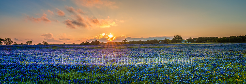This great field of bluebonnets  at sunset was probably the last we will see around the Texas Hill Country for this year.  This field of bluebonnets looked like waves of flowers in this field and the sunset cast this nice orange and red glow over the fiield of blue wildflowers.