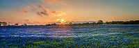 Bluebonnets Sunset Pano - A great field of bluebonnets at sunset was probably the last we will see around the Texas Hill Country for this year.  This field of bluebonnets looked like waves of flowers in this field and the sunset cast this nice orange and red glow over the fiield of blue wildflowers.