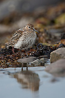 Alpen-Strandläufer, Alpenstrandläufer, im Jugendkleid, Jungvogel, Strandläufer, Calidris alpina, dunlin