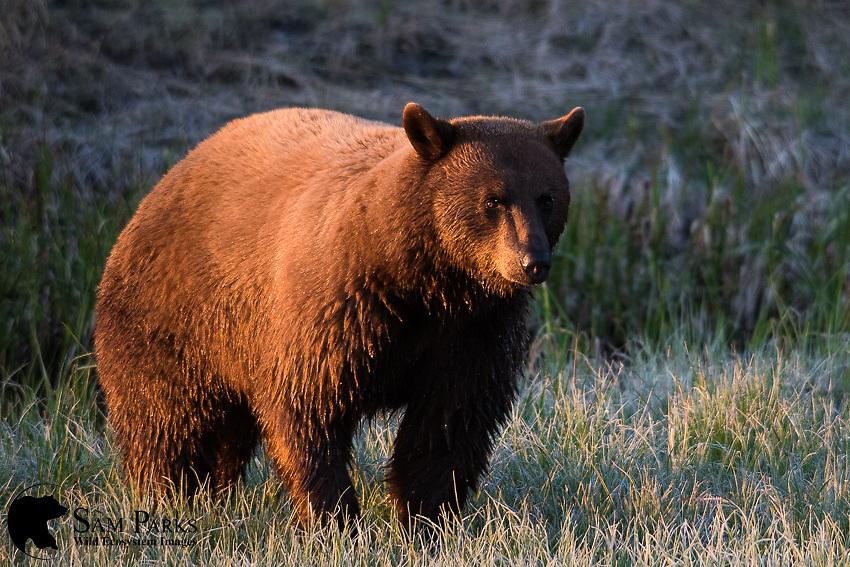 Cinnamon black bear at sunrise. Yellowstone National Park, Wyoming.