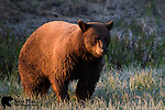 Cinnamon black bear at sunrise. Yellowstone National Park, Wyoming.