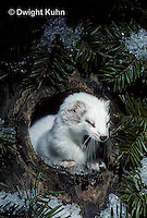 MA28-128z  Short-Tailed Weasel - ermine exploring tree cavity for prey in winter - Mustela erminea