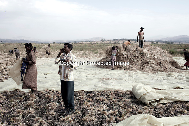 BAKO, ETHIOPIA - MARCH 10: An Indian manager watches as workers harvest rice on a farm leased by the Ethiopian government to the Indian company Karuturi Global Limited on March 10, 2011 in Bako, Ethiopia. Photo by: Per-Anders Pettersson