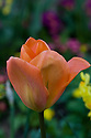 Tulip 'Orange Emperor', mid April.