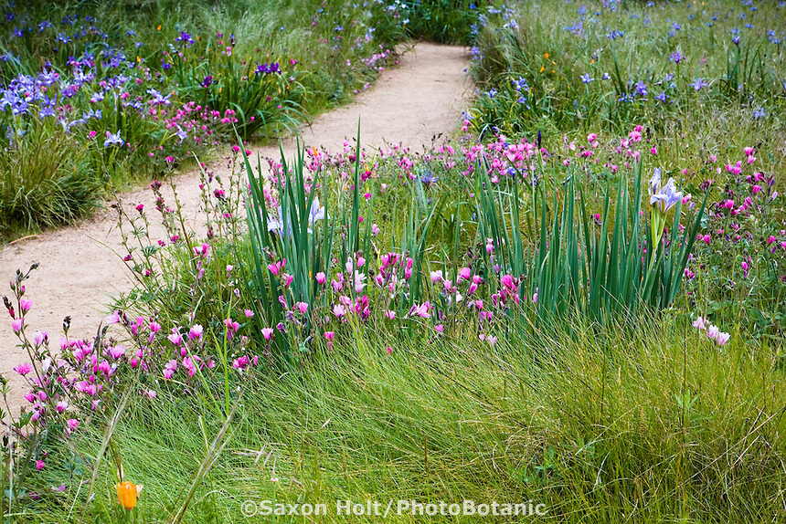 Wildflowers Sidalcea malviflora (checkerbloom) and iris in spring Meadow garden with red Fescue, Festuca rubra grass, Menzies California native plant garden