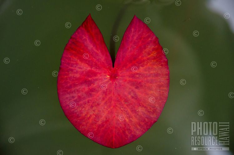 A close-up view of a red lotus flower leaf floating in water, Big Island.
