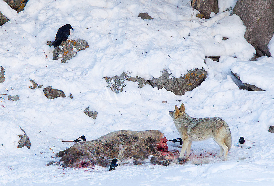 Coyotes, ravens and magpies are common visitors to old carcasses.