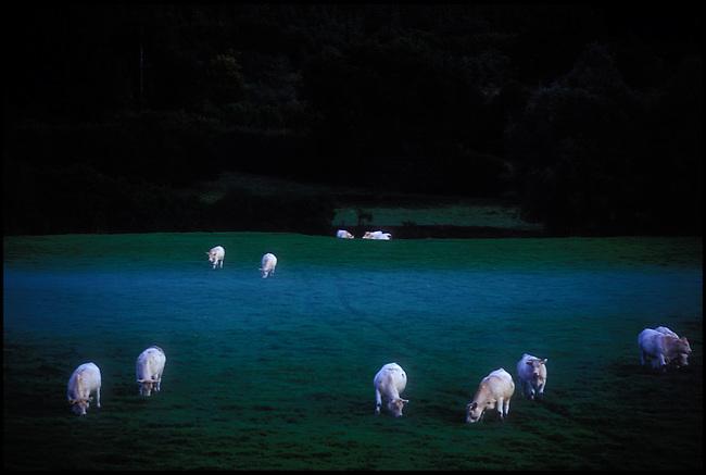 Cows at dusk with rising mist. Côte d'Or, Bourgogne, Burgundy, France. Kodak E6.