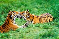 Siberian tiger, Amur tiger, Panthera tigris altaica, adult pair playing
