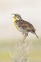 Western Meadowlark - Sturnella neglecta - Adult breeding
