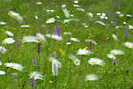 Fragrant Orchid, Gymnadenia conopsea, and daisies, blowing in the wind, blurred movement, Parkgate, Kent, wild flower meadow, downland areas throughout England.United Kingdom....