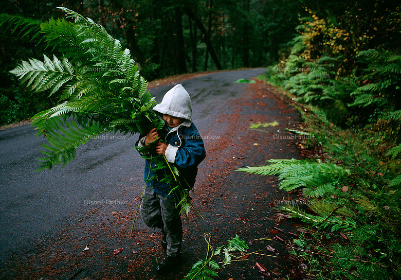 A youth gathers ferns for basketmaking, a tradition of the Hoopa Indian tribe in Humboldt County, California.