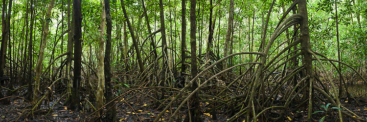 Mangrove forest.  Daintree National Park, Queensland, Australia