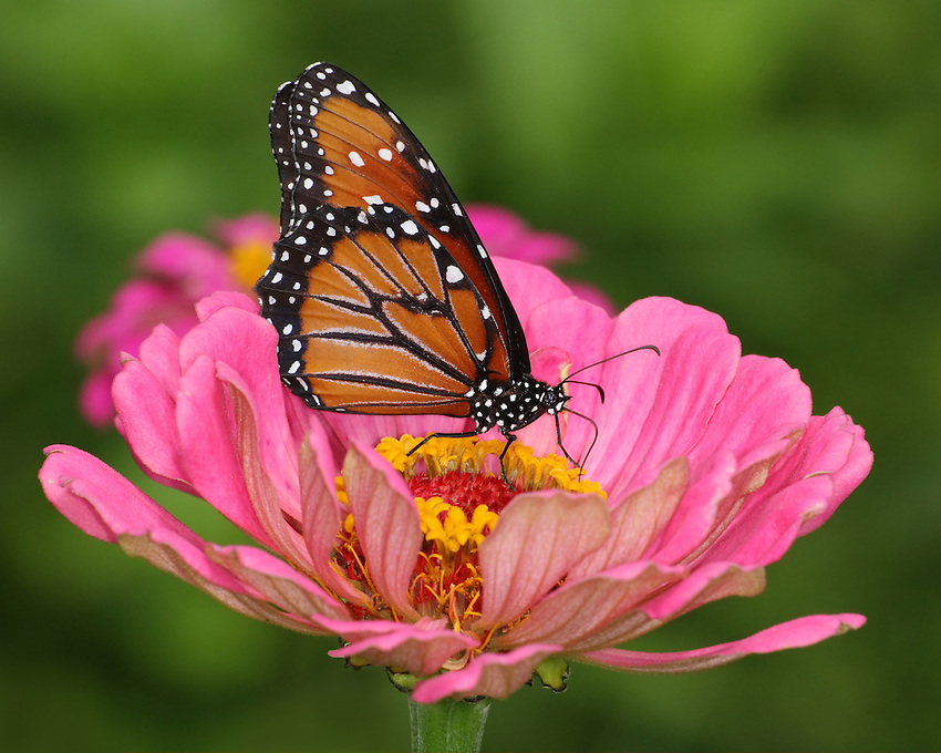 The Queen resembles its close relative the Monarch butterfly (Danaus plexippus) in various ways, but is smaller and the ground color of the wings is a darker..