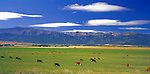Wallowa County, OR  <br /> Cattle grazing in the Wallowa River valley under the profile of the Wallowa Mountain range