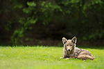 Coyote (Canis latrans) female, Gloucester, Cape Ann, eastern Massachusetts