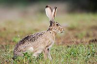 Black-tailed Jackrabbit, Lepus californicus, adult, Uvalde County, Hill Country, Texas, USA, April 2006