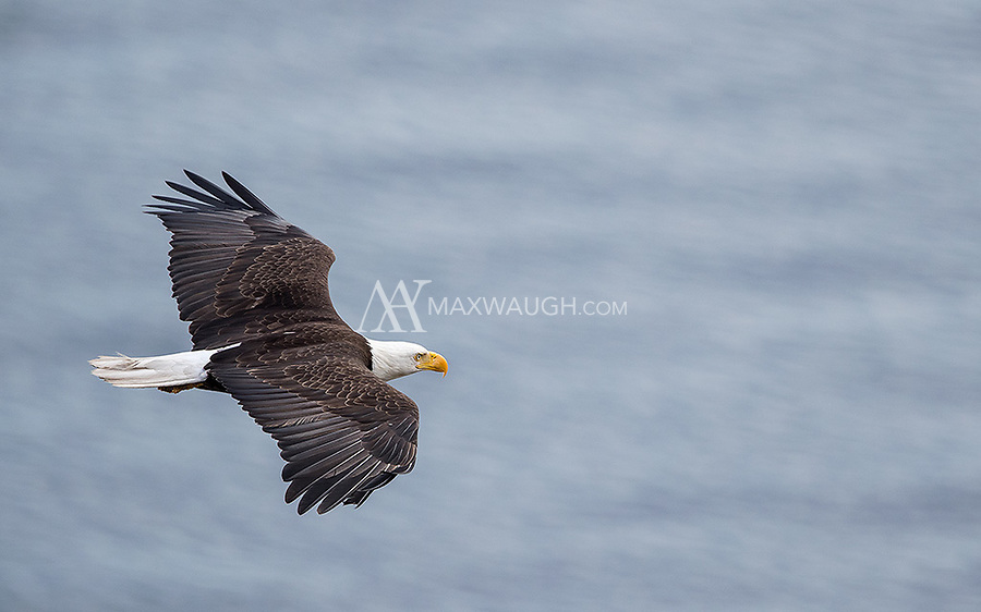 A Bald Eagle scans the waters of Puget Sound for a meal.