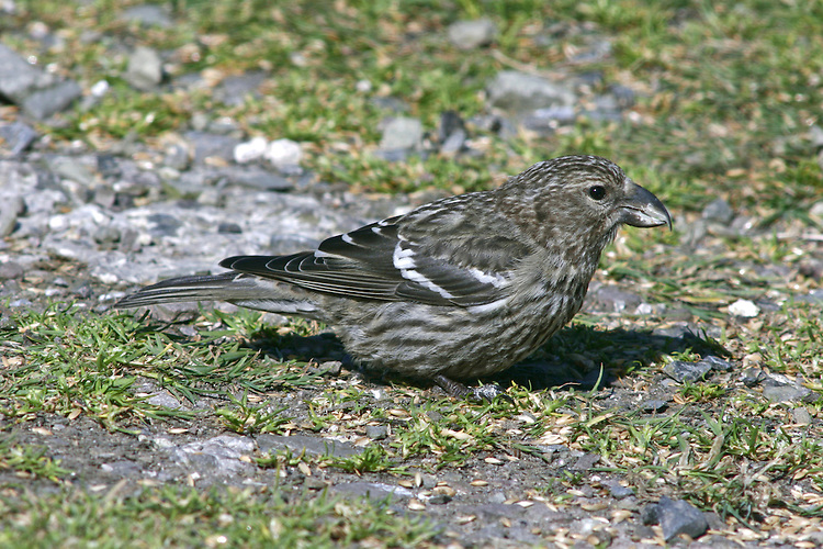 Two Barred Crossbill - Loxia leucoptera
