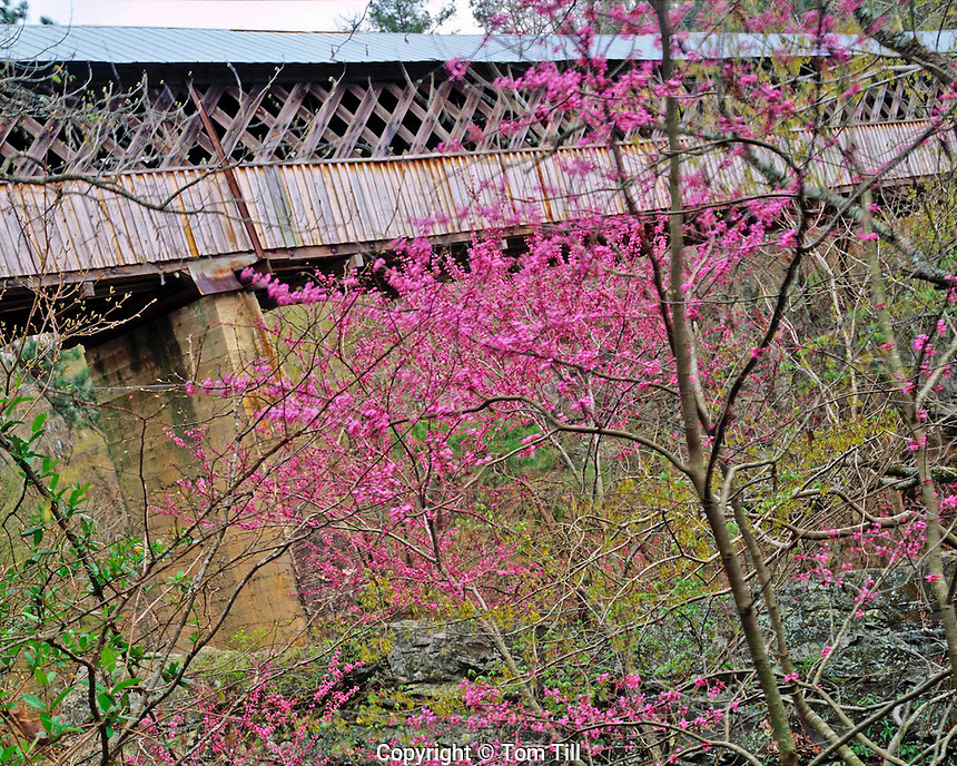 Horton Mill Covered Bridge and Redbuds, Blount County, Alabama    Cercis canadensis  Souhtern Applachian Mountain foothills   Highest covered bridge water in the United States   Over Warrier Riverapitol