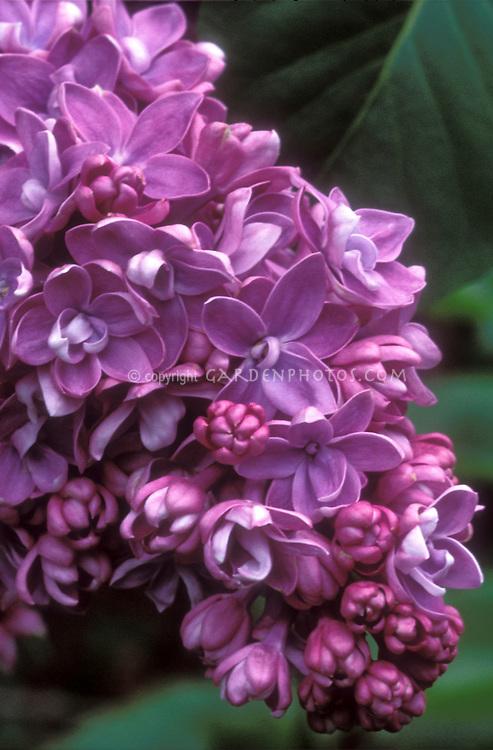 Lilac Syringa vulgaris 'Paul Thiron' in spring bloom closeup