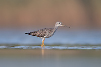 Greater Yellowlegs (Tringa melanoleuca), East Pond, Jamaica Bay Wildlife Refuge