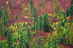 A hillside in a Montana forest in fall color