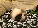 hamster g pigs 1128