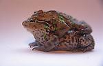 A07XKE Frogs having sex