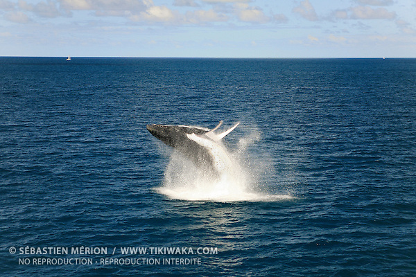 Baleine à bosse (Megaptera Novaeangliae) au large de la baie de Prony, lagon sud de la Nouvelle-Calédonie. Chaque hiver, de juillet à septembre, une petite population de baleines à bosse vient de l'antarctique pour se reproduire dans les eaux calédoniennes.