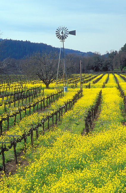 Spring scene in Napa Valley vineyard