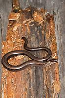 Blindschleiche, Blind-Schleiche, Anguis fragilis, Schleiche, European slow worm, blindworm