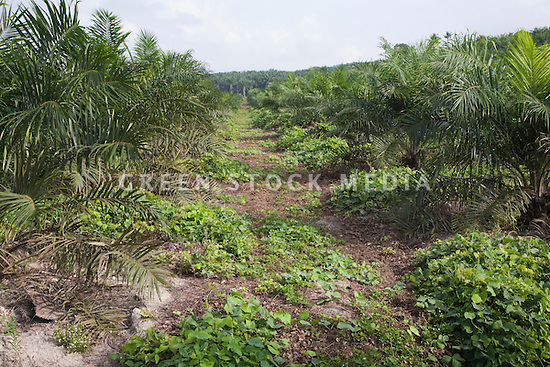 Rotor blades are used to cut row pathways such as this one on the Sindora Palm Oil plantation, instead of using chemical spraying. The plantation, owned by Kulim, is green certified by the Roundtable on Sustainable Palm Oil (RSPO) for its environmental, economic, and socially sustainable practices. Johor Bahru, Malaysia