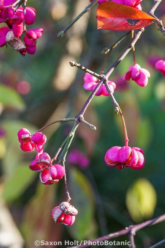 maroon seedpods Gary Ratway garden