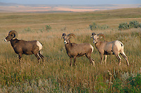 Bighorn sheep rams<br />