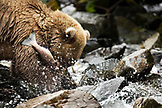 USA, Alaska, grizzly bear eating a caught salmon, Wolverine Cove, Redoubt Bay