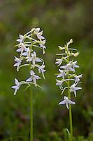 Zweiblättrige Waldhyazinthe, Weiß-Waldhyazinthe, Weiße Waldhyazinthe, Platanthera bifolia, Platanthera solstitialis, Lysias bifolia, Lesser Butterfly-orchid, Lesser butterfly orchid