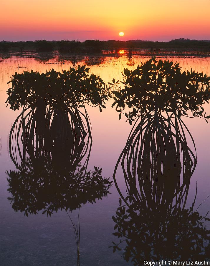 Everglades National Park, FL <br /> Red mangrove (Rhizophora mangle) silhouettes reflecting on a still saltwater marsh at sunrise